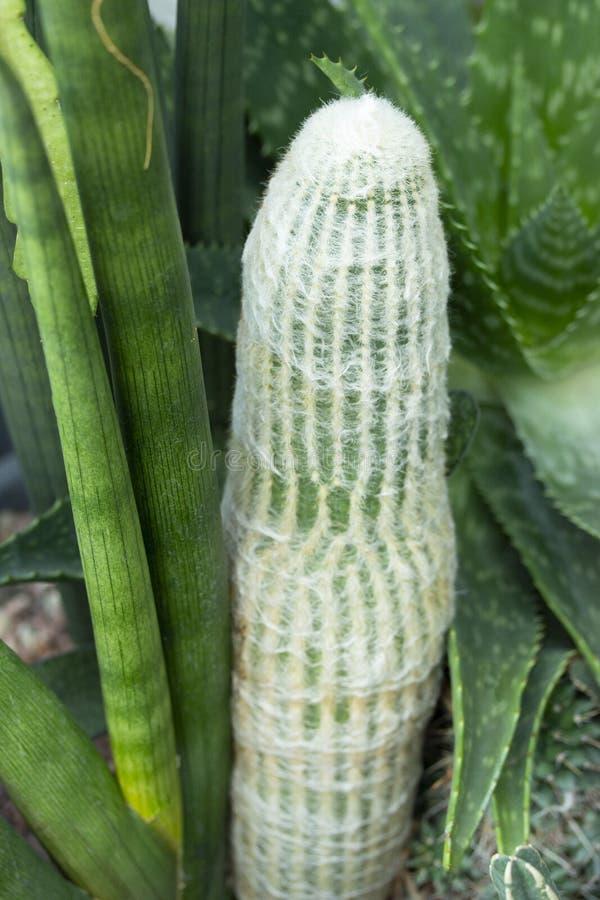 De tropische cactus van Cactaceae van Espostoalanata met pluizige naalden die door succulents worden omringd royalty-vrije stock afbeelding