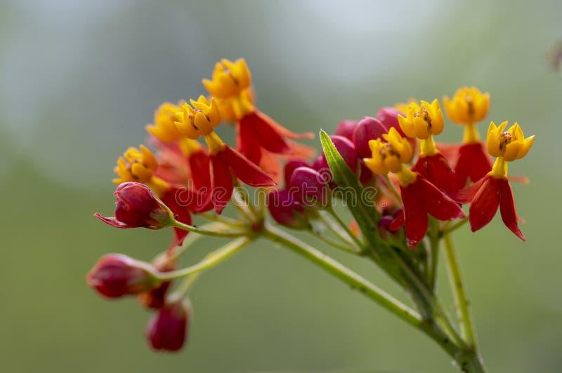 De tropische mooie bloemen van Asclepiascurassavica in bloei, rode oranjegele bloeiende installatie stock afbeeldingen