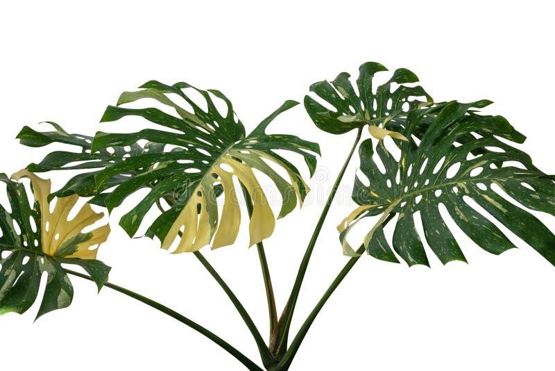 De tropische Reuze Gele Geschakeerde wildernis van regenwoud groene Monstera verlaat wijnstok zeldzame Philodendron die op witte  royalty-vrije stock foto