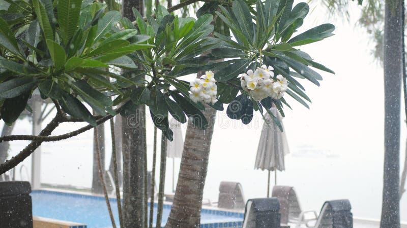 De tropische wind en de regen laten vallen het vallen op frangipanibloem in eiland Koh Samui in toevlucht stock foto