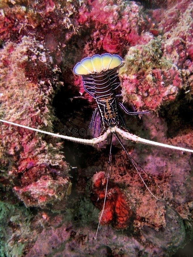 De tropische Zeekreeft van het Water stock fotografie
