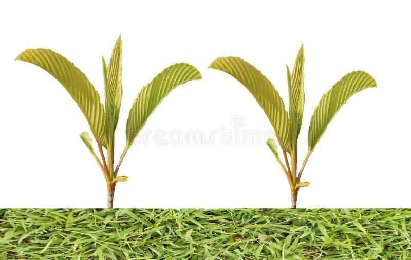 De tropiska gröna filialerna med gräs islolated på vita bakgrunder royaltyfria foton