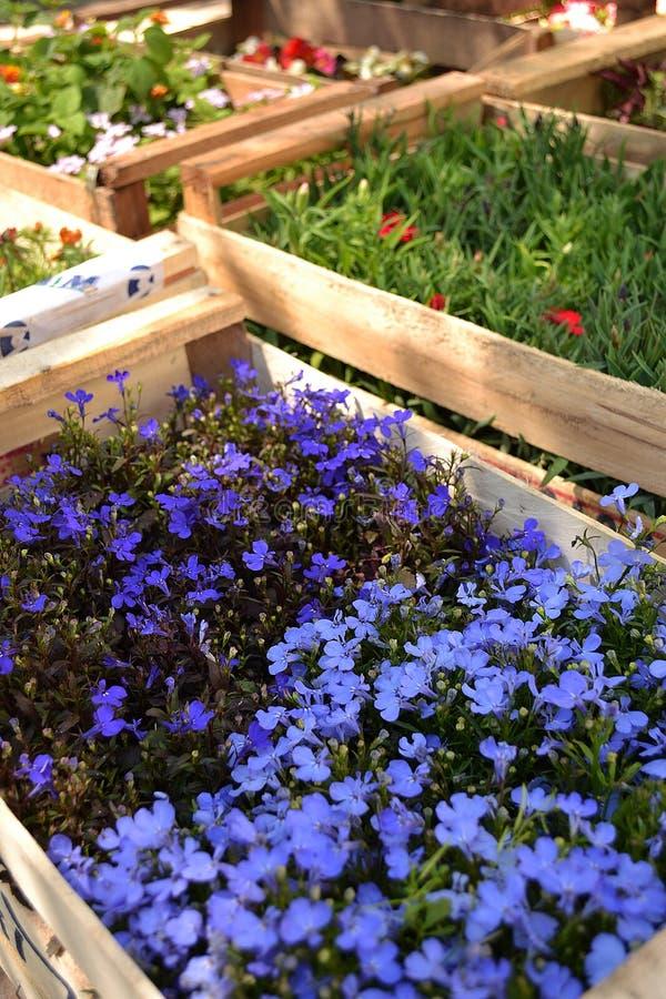 De tuin bloeit Seringen bloeide in de Lente royalty-vrije stock fotografie
