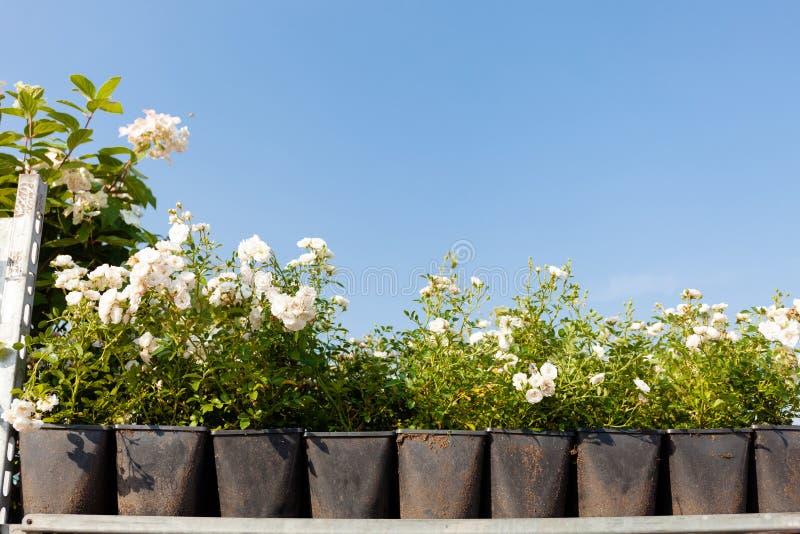 De tuin nam bloemen in potten, assortiment toe Schoonheids bloeiend boeket royalty-vrije stock afbeelding