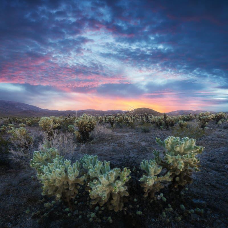 De Tuin van de Chollacactus in Joshua Tree National Park bij zonsondergang In dit nationale park de Mojave-woestijn, Californië,  royalty-vrije stock afbeelding