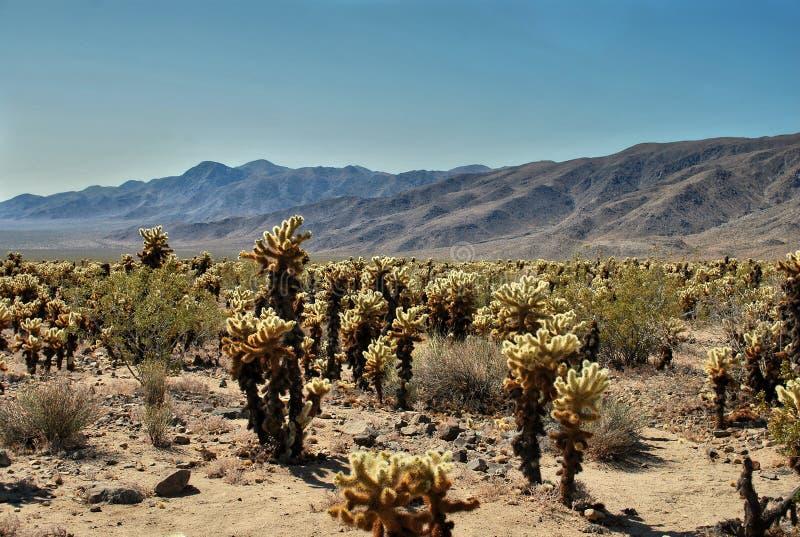 De tuin van de Chollacactus, nationale het parkwoestijn van de joshuaboom, de V.S. stock fotografie