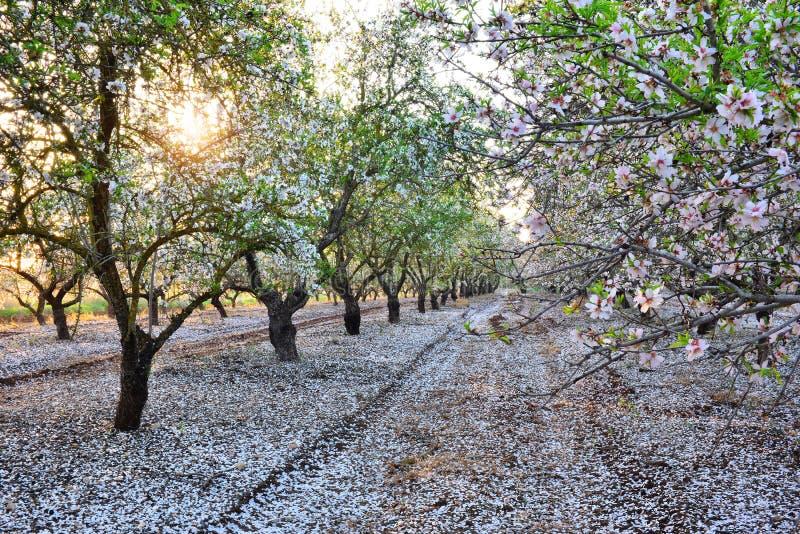 De tuin van de amandel in langzaam verdwijnende zonstralen stock foto's