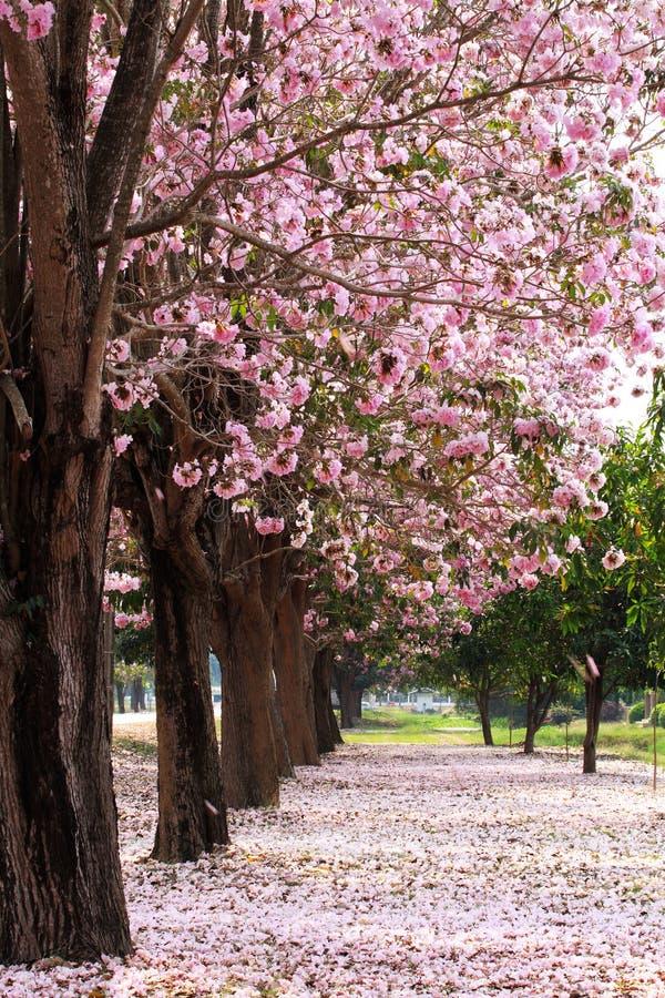 De tuin van de bloesembomen van de kers stock afbeelding
