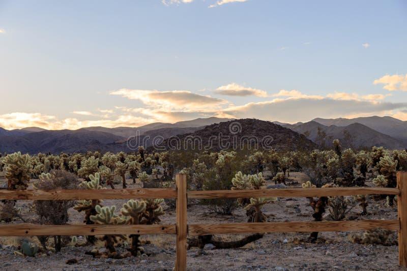 De Tuin van de Cactus van Cholla stock foto