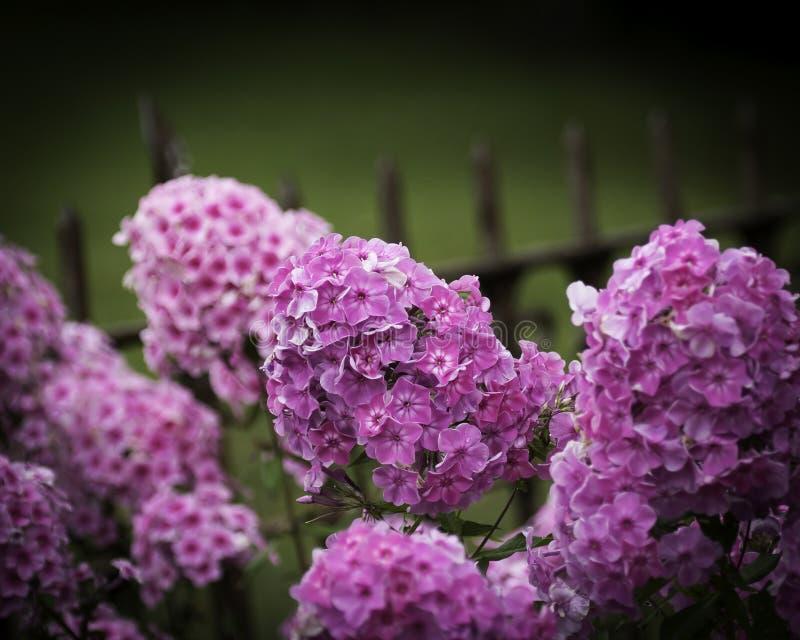 De tuin van de floxzomer royalty-vrije stock afbeeldingen