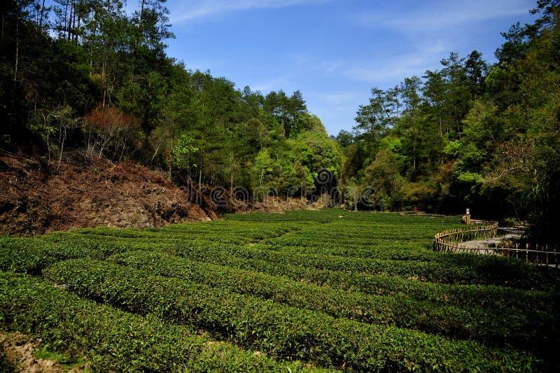 De tuin van de thee stock foto's