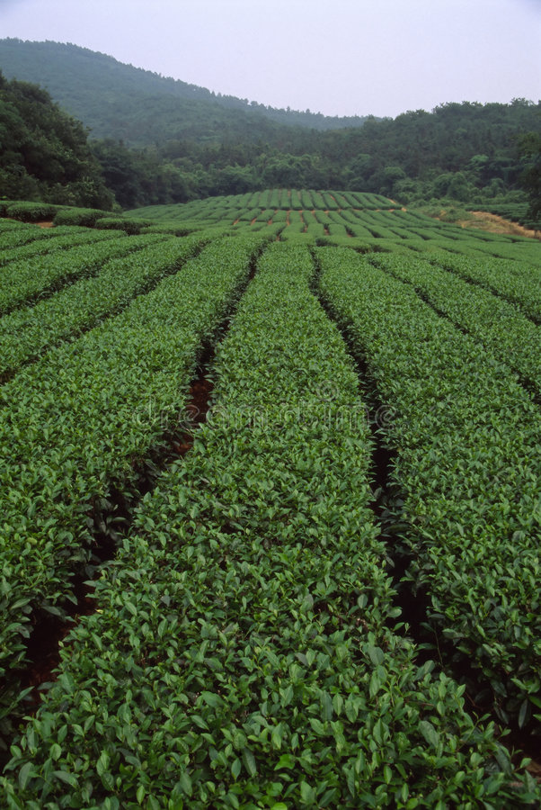 De tuin van de thee stock foto