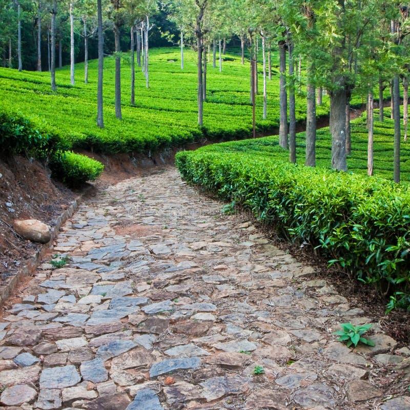 De Tuin van de thee in India stock fotografie