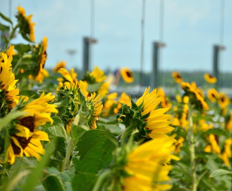 De Tuin van de zonnebloem stock fotografie