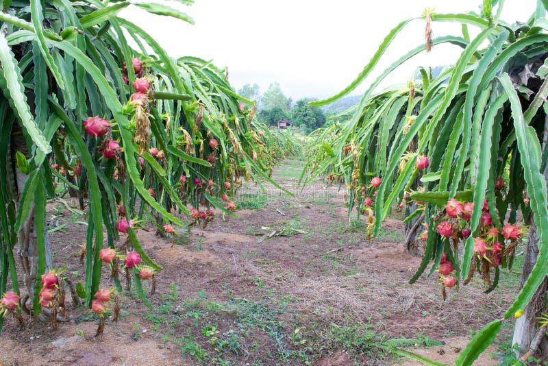 De tuin van het draakfruit royalty-vrije stock fotografie