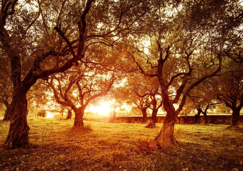 De tuin van olijfbomen stock fotografie