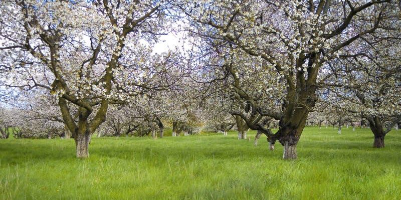 De tuin van Sakura royalty-vrije stock afbeelding