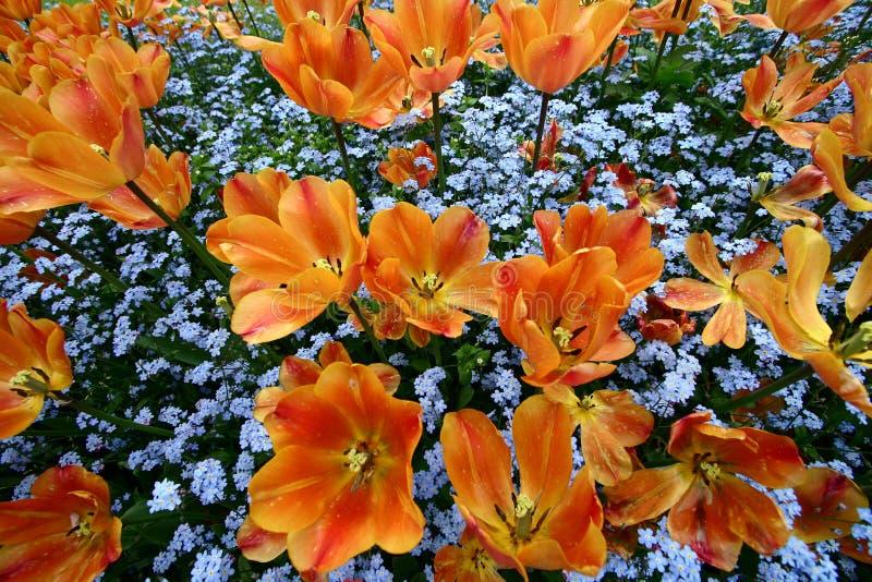 De tuin van tulpen stock foto's