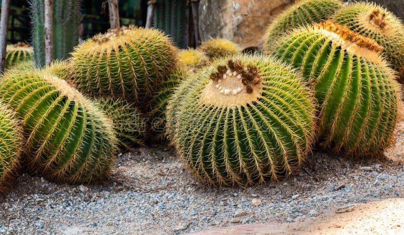 De tuin van de de zomercactus toont achtergrond royalty-vrije stock fotografie