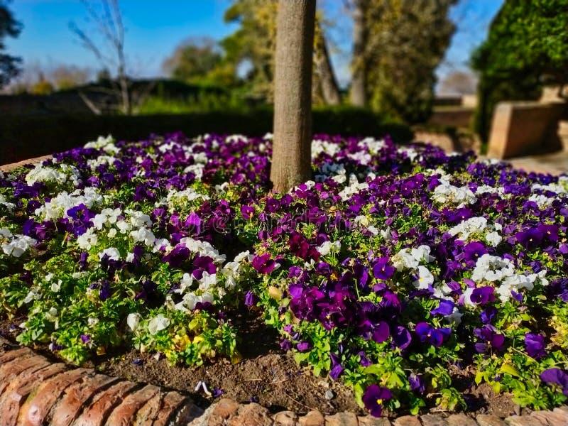 De tuin wordt gevuld met mooi purper bloemen in de loop van de dag deel 1 stock afbeeldingen