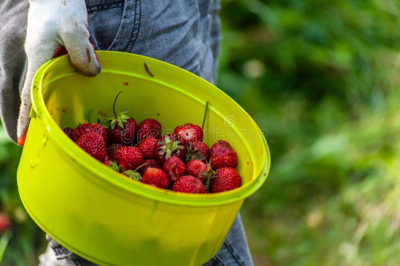 De tuinarbeider \ 's dient tuinhandschoenen in houdend groen komhoogtepunt van rode rijpe aardbeien royalty-vrije stock foto