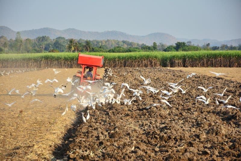 De tuinbouwer drijft de trekker om de grond te cultiveren Pelikanen die op zoek zijn naar voedsel royalty-vrije stock foto's
