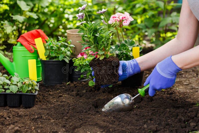 De tuinliedenhanden die bloemen in de tuin planten, sluiten omhoog foto royalty-vrije stock afbeeldingen