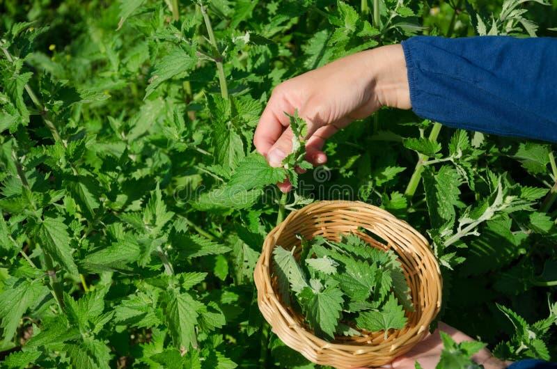 De tuinmanvrouw plukt citroen-balsem kruidinstallatie met de hand royalty-vrije stock foto