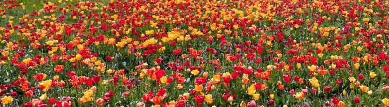 De tuinpanorama van de tulp stock afbeelding