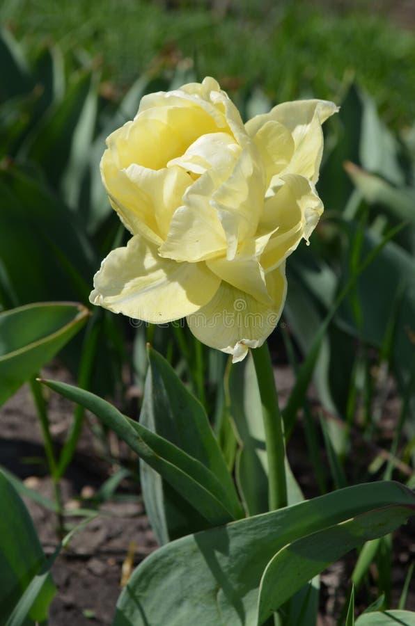 De Tulip Avantgarde Terry amarelo delicado cedo imagem de stock royalty free