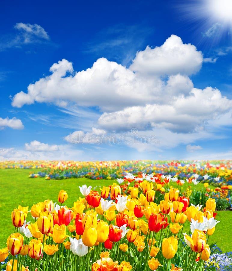De tulp bloeit gebied. de lente landschap stock afbeeldingen