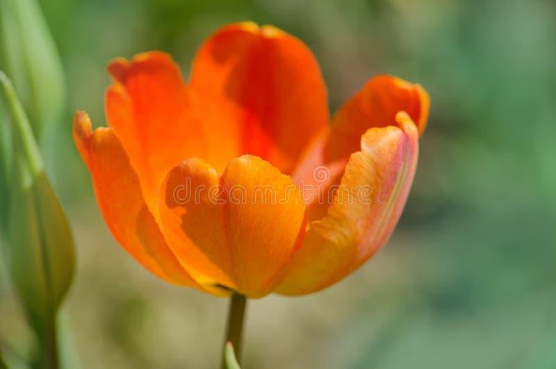 De tulp van de abrikozenpapegaai stock foto