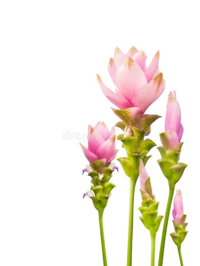 De Tulp van Siam die op witte achtergrond wordt geïsoleerdg stock afbeeldingen