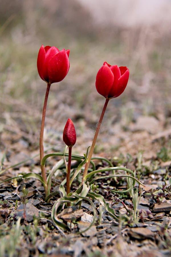 De Tulp van tulpen royalty-vrije stock foto's