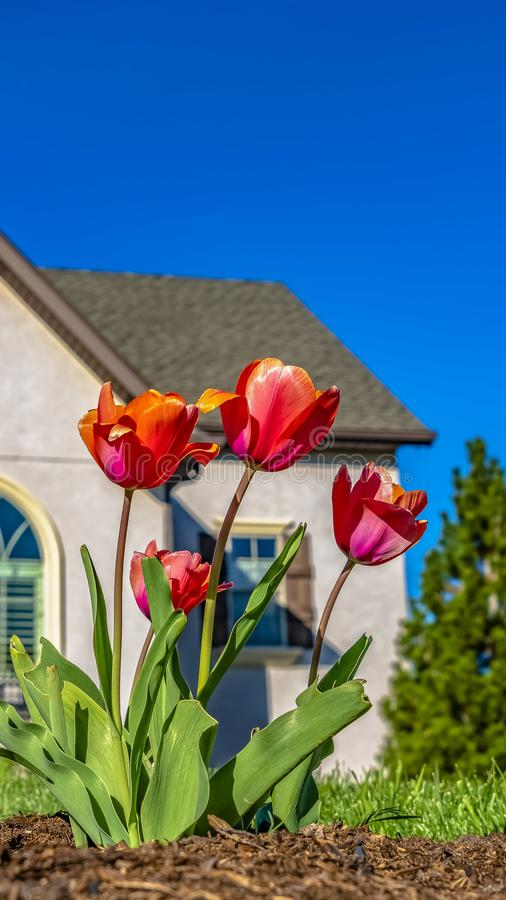 De Tulpen die van het panoramakader bij de tuin van een huis onder duidelijke blauwe hemel op een zonnige dag bloeien royalty-vrije stock afbeeldingen