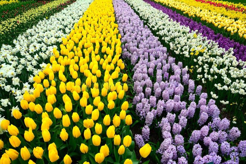 De Tulpen, Keukenhof-Tuin, Nederland stock foto's