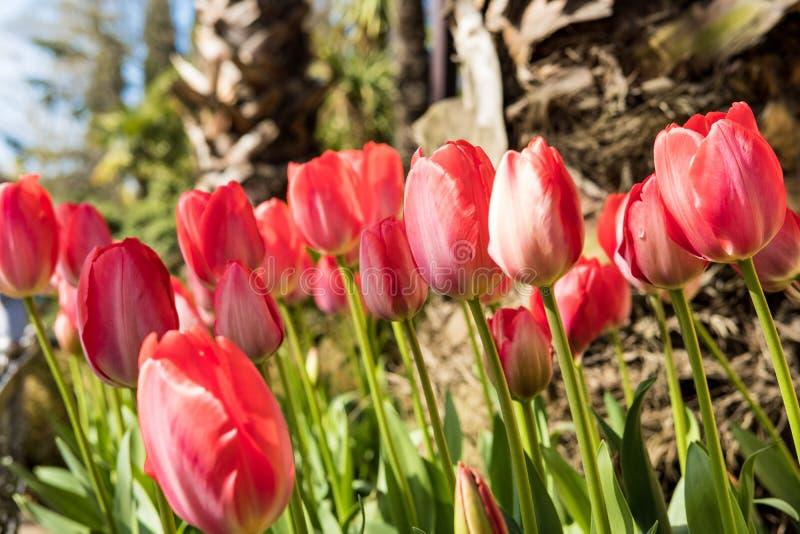 De tulpen rode heldere mooie Zonnige lente royalty-vrije stock foto's