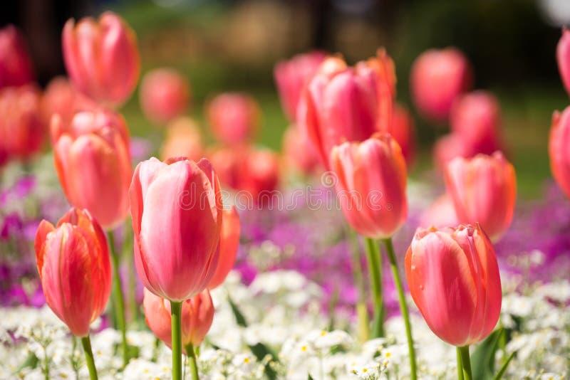 De tulpen sluiten omhoog met Bokeh-Effect royalty-vrije stock fotografie