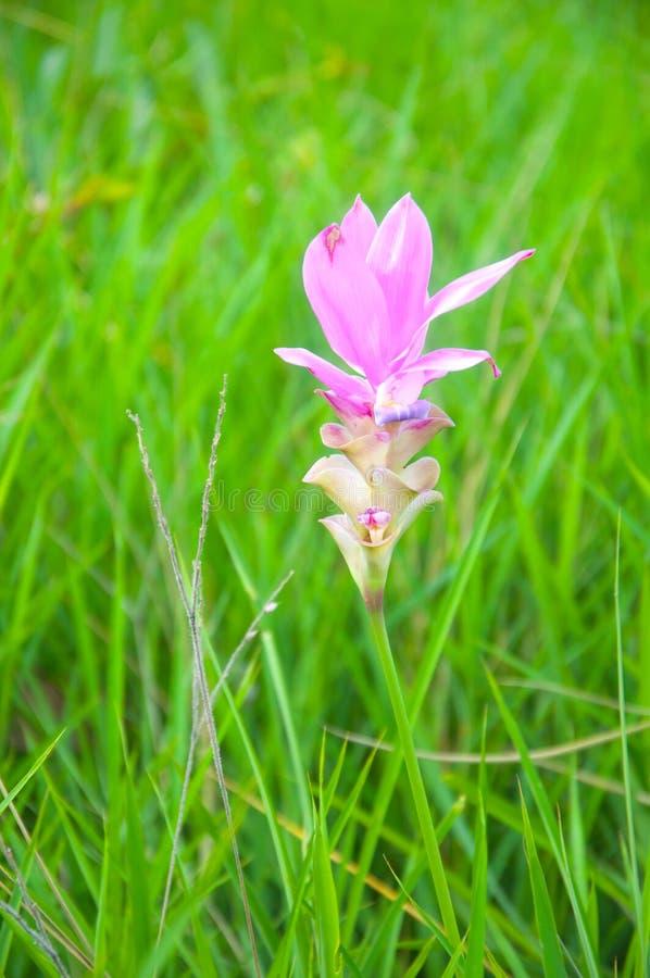De tulpenbloemen van Siam het bloeien royalty-vrije stock afbeelding