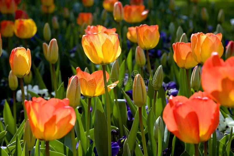 De tulpentuin van de lente stock foto