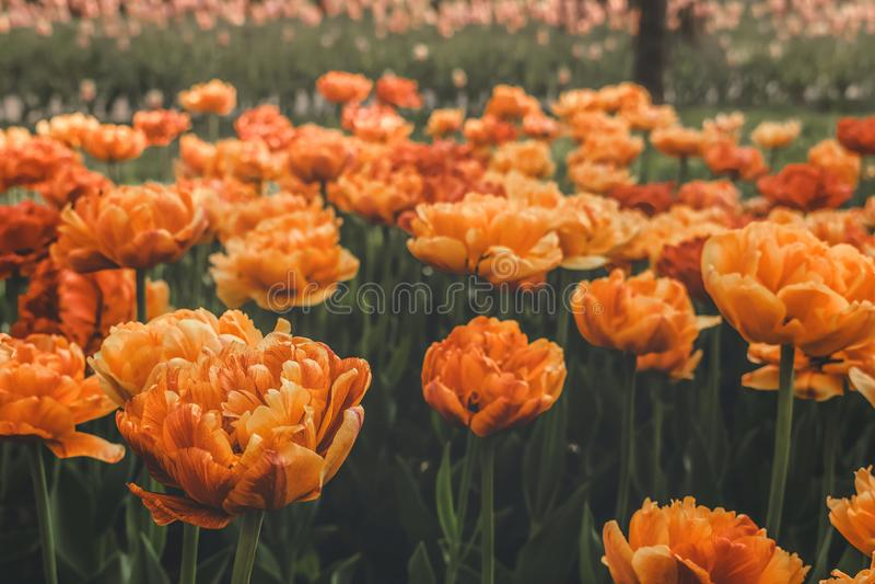 De Tulpenverscheidenheid van de zonminnaar Grote, zonnige geeloranje tulpen met veel bloemblaadjes met stroken Kleurrijke tulpen  stock afbeeldingen