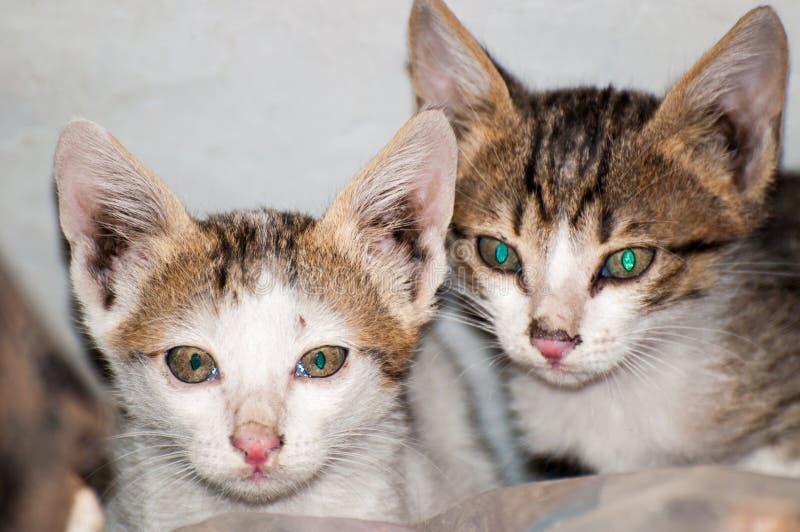 De tvilling- gulliga kattungarna arkivbilder