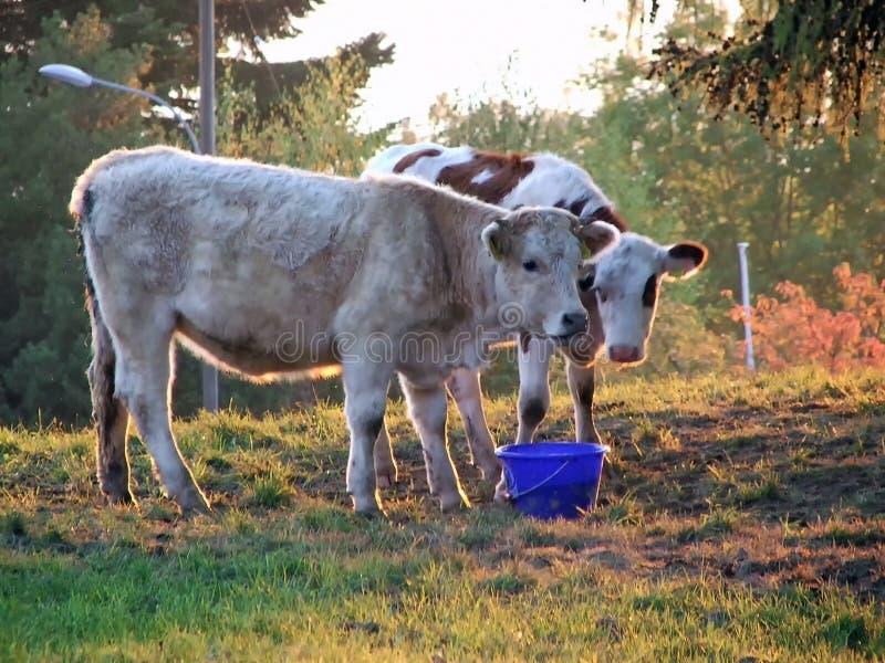 De twee koeien royalty-vrije stock foto's