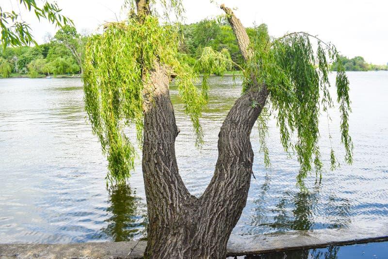 De tweelingwilgen met verdraaide boomstammen hebben de vorm van vrouwenbenen royalty-vrije stock fotografie