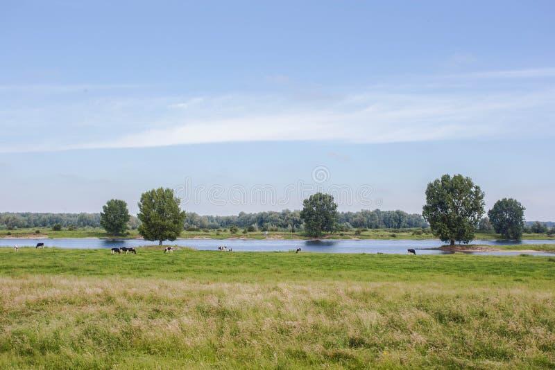 De typische Nederlandse Friesian koeien van Holsteins in groene weide met een rivier in Holland stock afbeeldingen