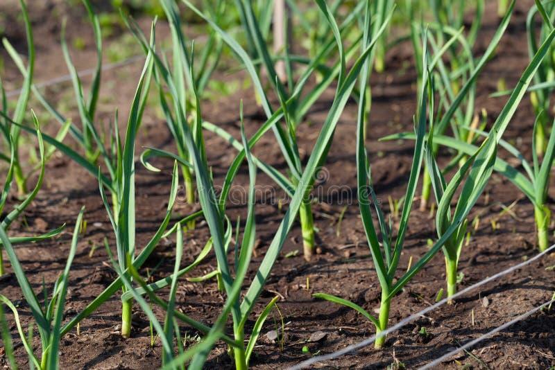 De ui groeit in de tuin in de tuin Eerste de Selectienadruk van de de lenteoogst Ondiepe Diepte van Gebied stock afbeeldingen
