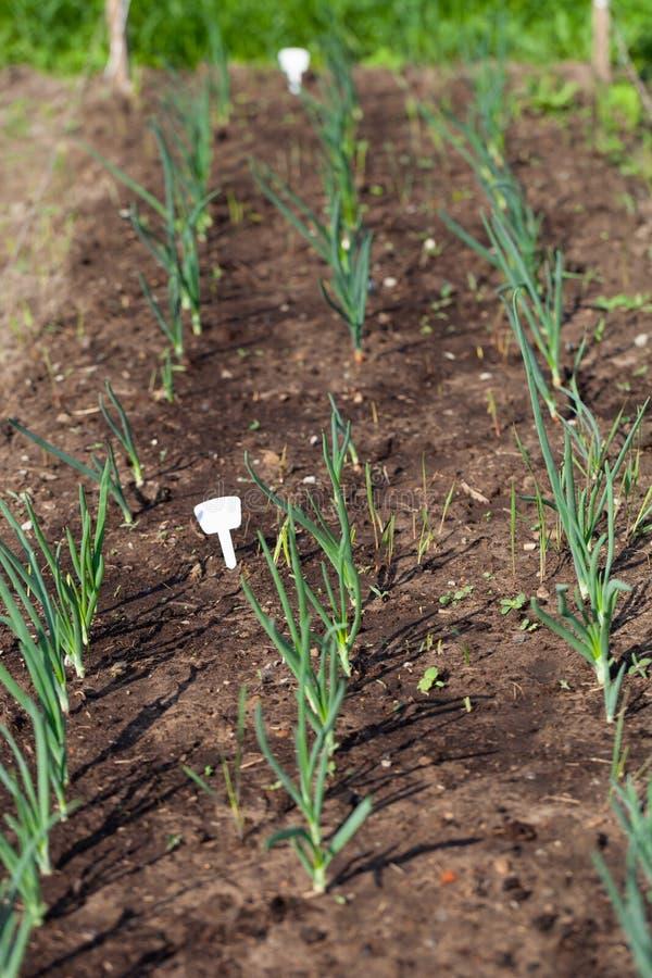 De ui groeit in de tuin in de tuin Eerste de Selectienadruk van de de lenteoogst Ondiepe Diepte van Gebied stock afbeelding