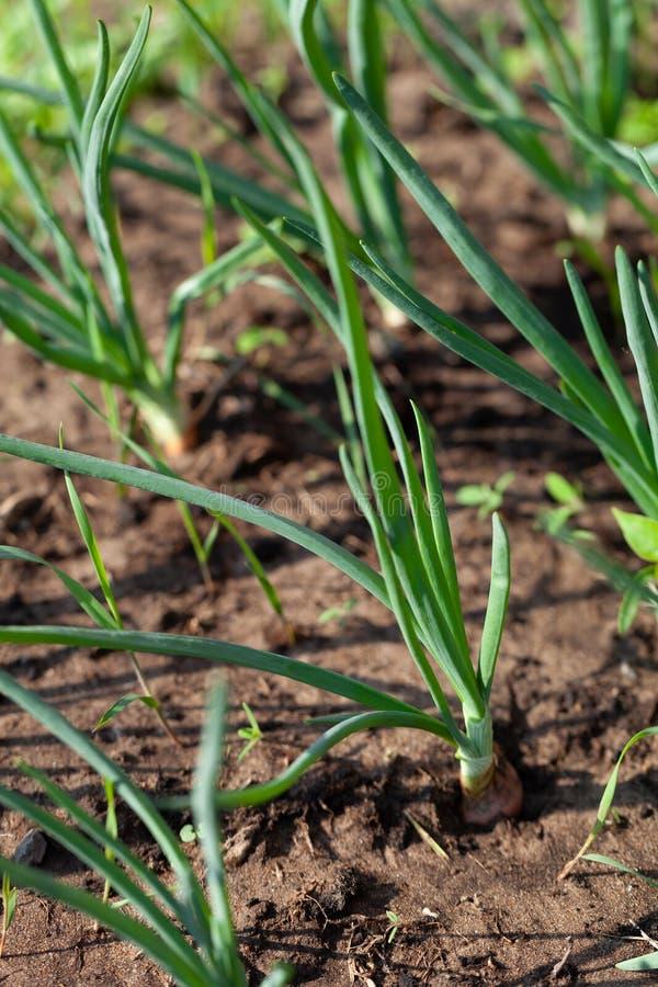 De ui groeit in de tuin in de tuin Eerste de Selectienadruk van de de lenteoogst Ondiepe Diepte van Gebied royalty-vrije stock foto's