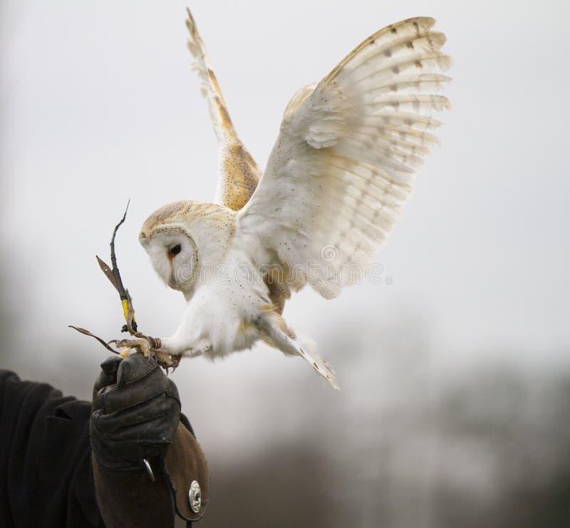 De Uil die van de schuur op Handschoen landt stock foto's