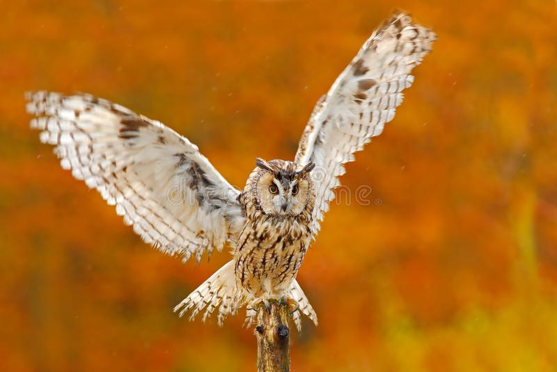 De uil in de oranje herfst verlaat bos lang-Eared Uil met oranje eiken bladeren tijdens de herfst vogel in de aardhabitat Daling  royalty-vrije stock afbeeldingen